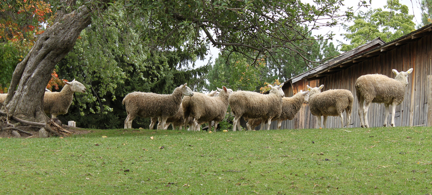 flock of Border Leicester sheep at Black Creek Pioneer Village