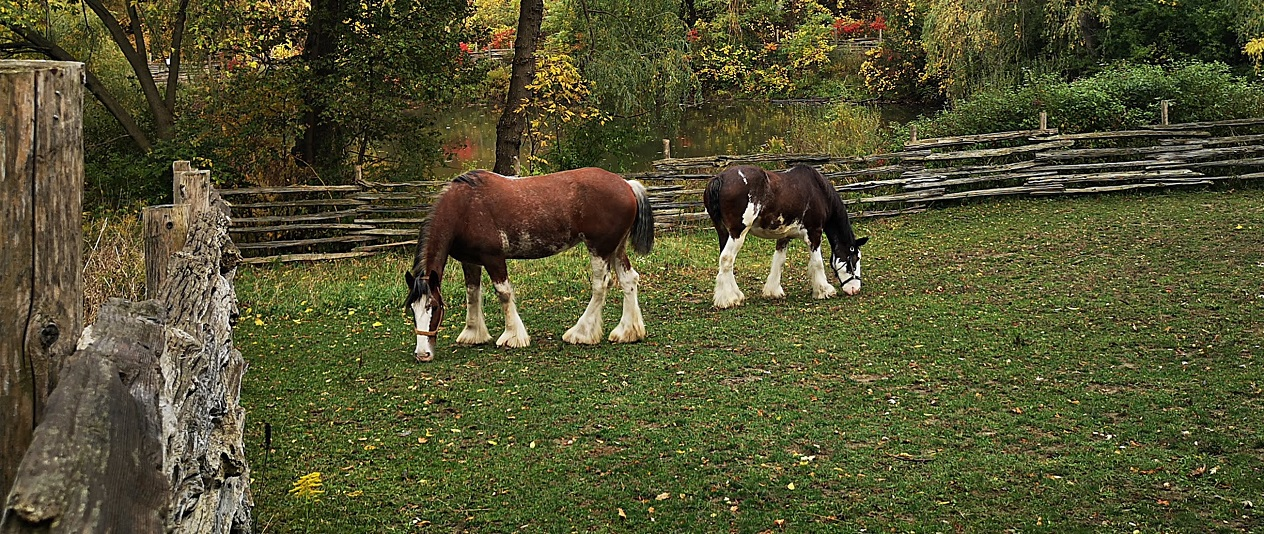 Clydescale horses at Black Creek Pioneer Village
