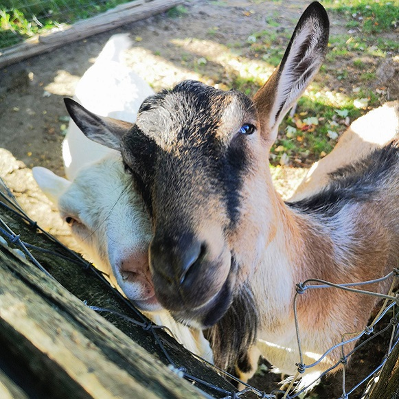 Heritage breed goats in pen at Black Creek Pioneer Village