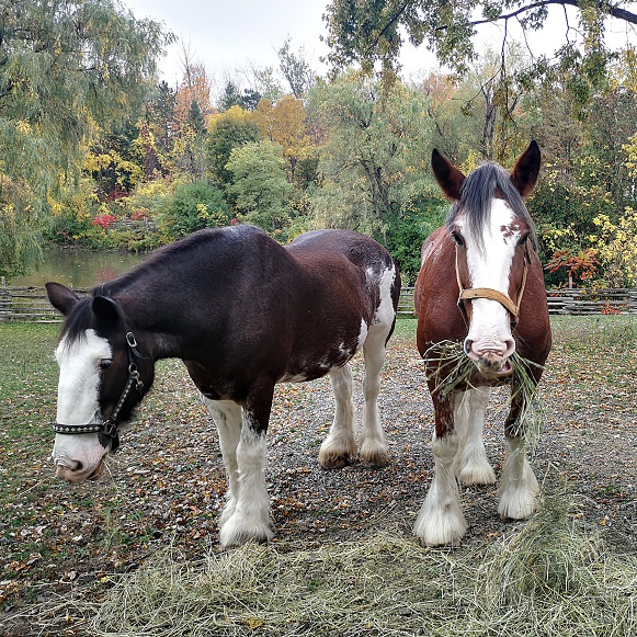 Clydesdale horses at Black Creek Pioneer Village
