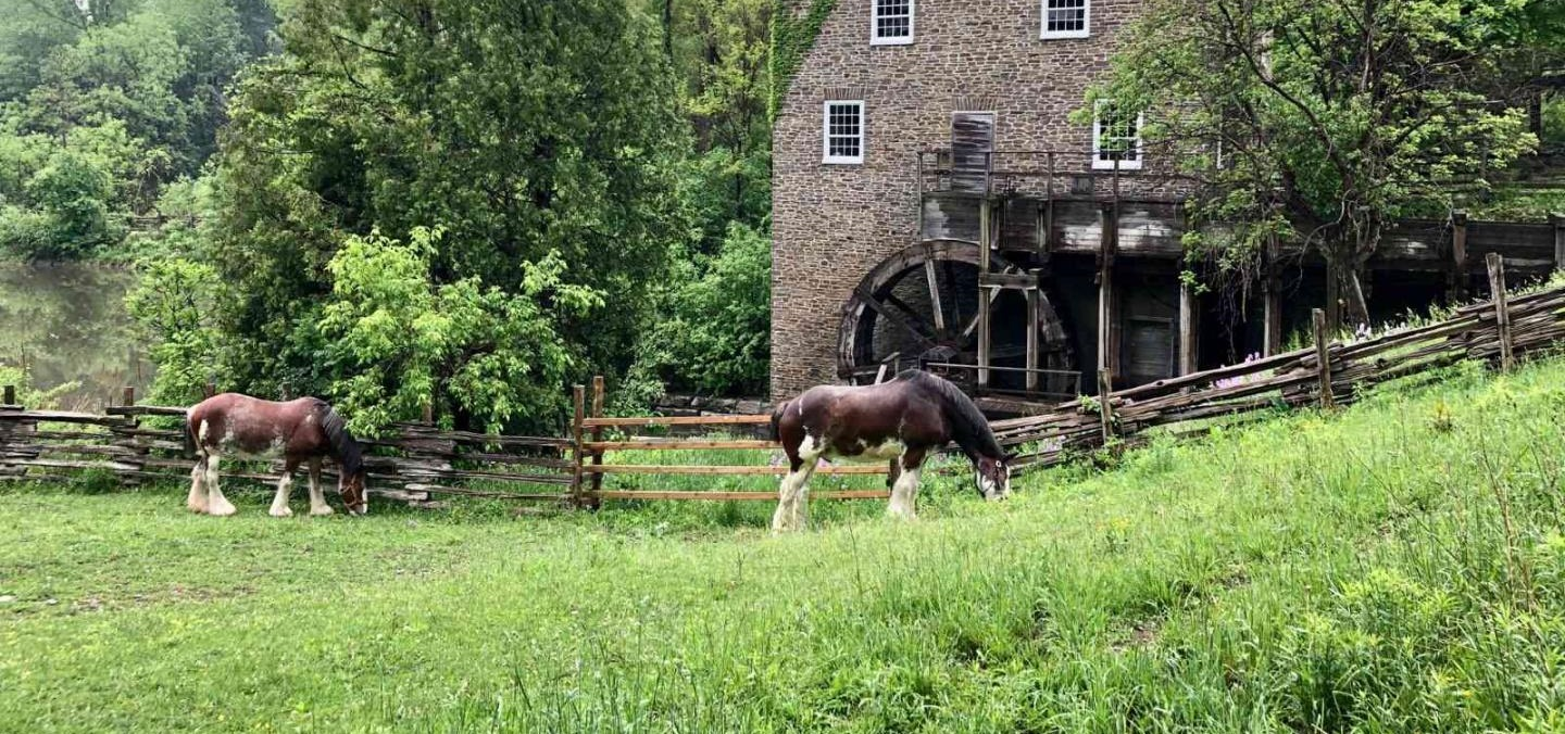 Clydesdale horses graze near Roblins Mill at Black Creek Pioneer Village