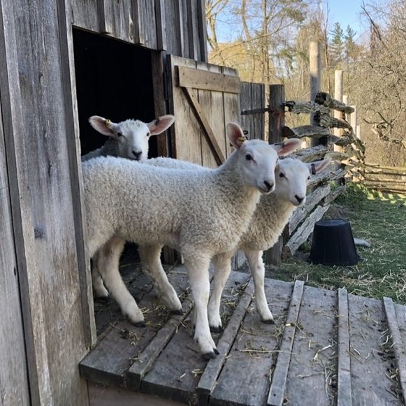 lambs emerge from pen at Black Creek Pioneer Village